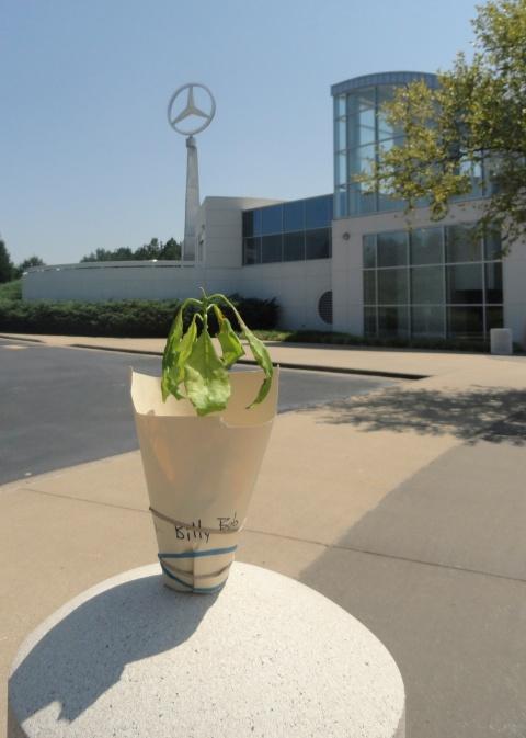 billy-bob-avocado-mercedes-plant