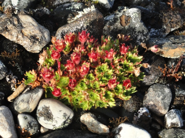 arctic-flower