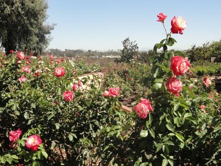 balboa-park-rose-garden