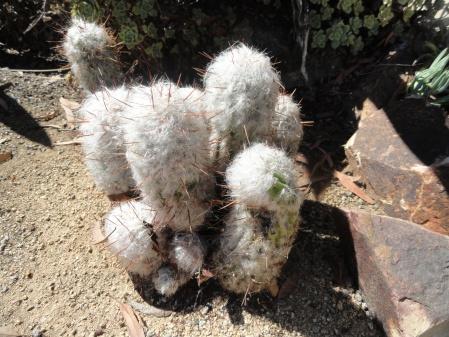 fuzzy-cotton-cactus