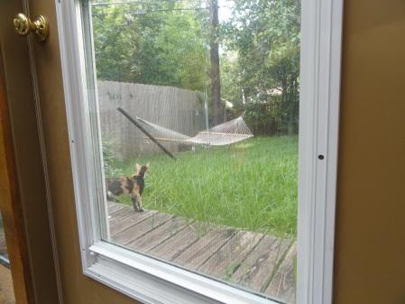 calico-kitten-on-back-deck