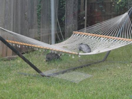 kittens-play-in-the-hammock