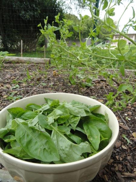 harvested-basil-austin