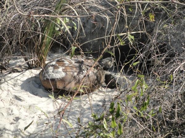 amelia-turtle-dunes