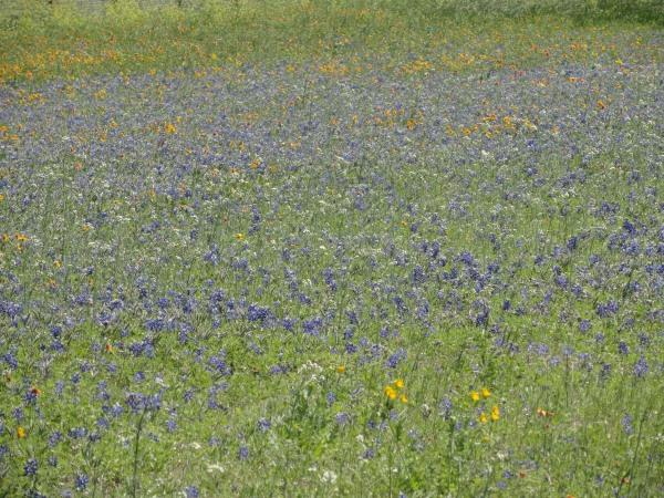 austin-texas-bluebonnets