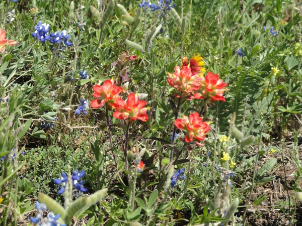 austin-texas-wildflowers