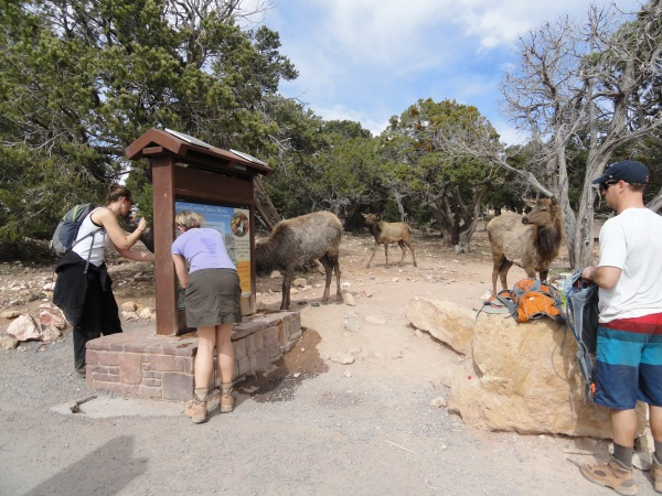grand-canyon-kaibab-trailhead-elk