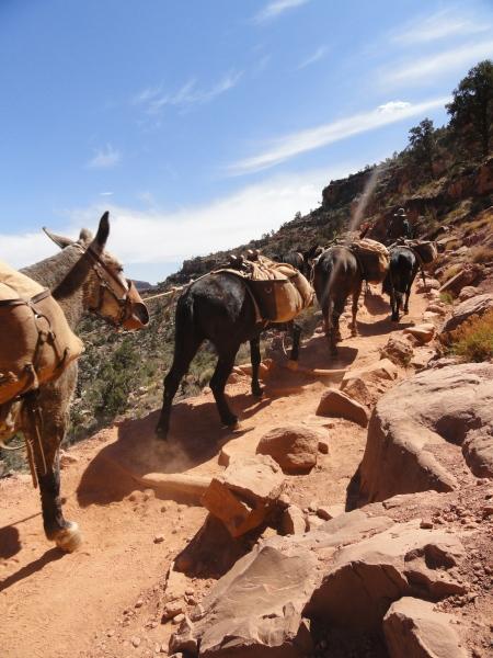 grand-canyon-mule-train