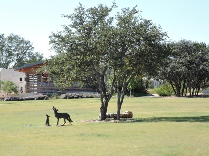 coyote-lbj-wildflower-center