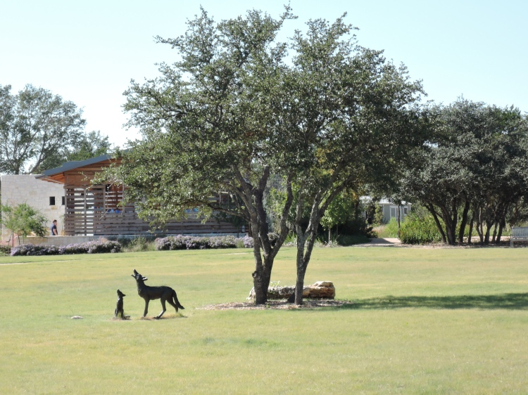 coyote-lbj-wildflower-center